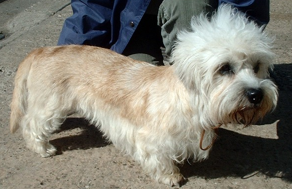 Dandie Dinmont Terrier via Wikipedia