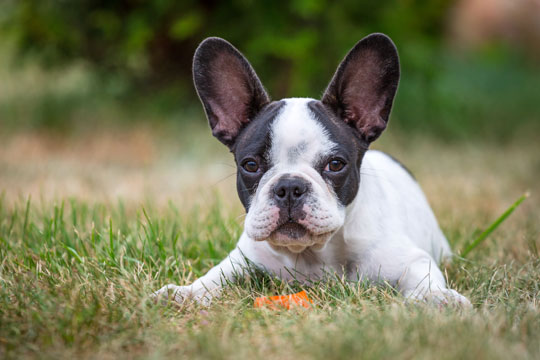 Training a french bulldog