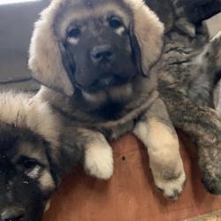 Caucasian Shepherd Dog for sale.