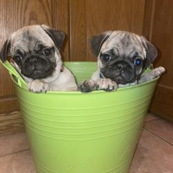Pug for sale.