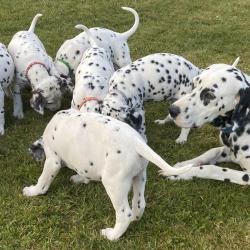 Dalmatian for sale.