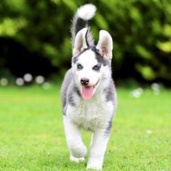 Siberian Husky for sale.