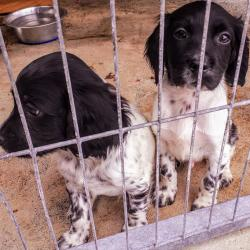 Spaniels for sale.