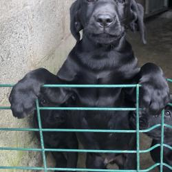 Labrador for sale.