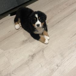 Bernese Mountain for sale.