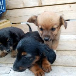 Crossbreed for sale.