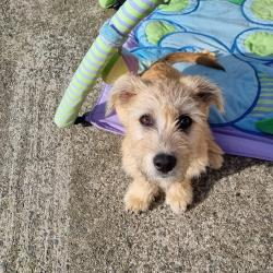 Terrier for sale.