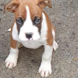 Boxer for sale.