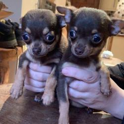 Chihuahua for sale.