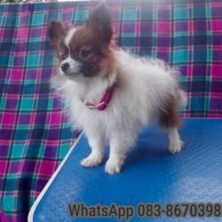 Papillon for sale.