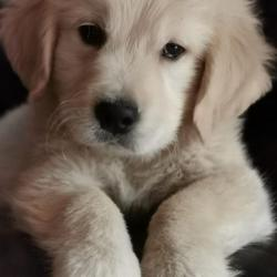 Golden Retriever for sale.