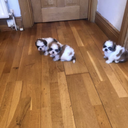 Shih Tzu for sale.