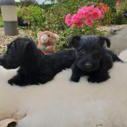 Scottish Terrier for sale.