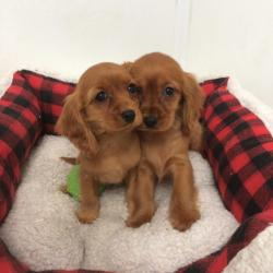 Cavalier King Charles for sale.