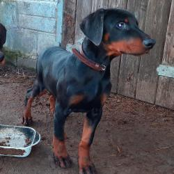Doberman for sale.