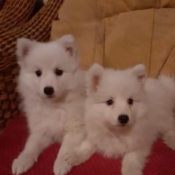 Spitz for sale.