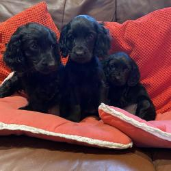 Cocker Spaniel for sale.