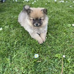 Pomeranian for sale.