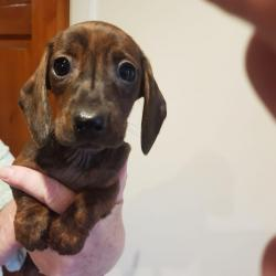 Dachshund for sale.