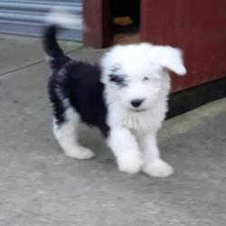 Old English Sheepdog for sale.