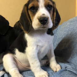 Beagle for sale.