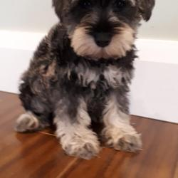 Schnauzer for sale.