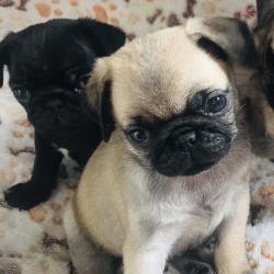 Pug for sale.