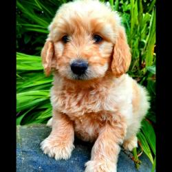 Labradoodle for sale.
