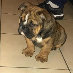 Bulldog for sale.