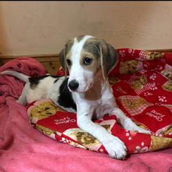 Beagle for sale.