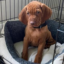 Vizsla for sale.