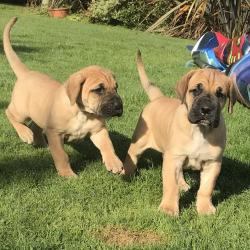 Great Dane for sale.