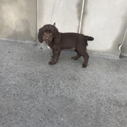 Springer Spaniel for sale.