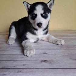 Siberian Husky for sale.