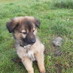 German Shepherd for sale.