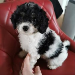 Cavachon for sale.