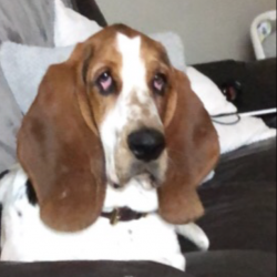 Basset Hound for sale.