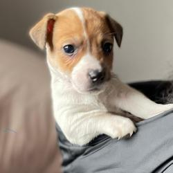 Jack Russell for sale.