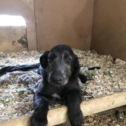 Irish Wolfhound for sale.