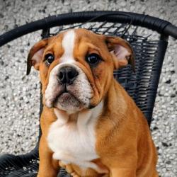 Bulldog for sale.