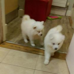 Samoyed for sale in Mayo : €350 dogs ie