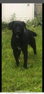 Male Cockerjack in Waterford for sale.