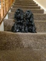 Show Type cocker spaniels for sale.