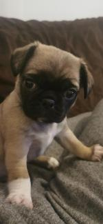 Pug puppies for sale.
