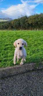 Male Labrador/Retriever in Donegal for sale.