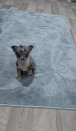 Chihuahua 10 weeks for sale.