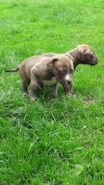 American Pit Bull Terrier Pup [sold].
