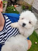 Litter of 4 Maltese puppies for sale.