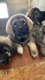 Caucasian shepherd pups in Dublin for sale.