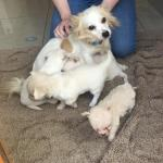 Chihuahua jackrussell x westhighland for sale.